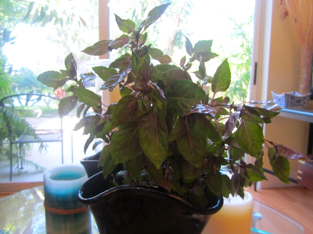this weeks herb bush :  Opal Basil