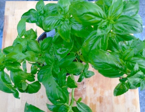 basil plant, about to loose a bunch of leaves......
